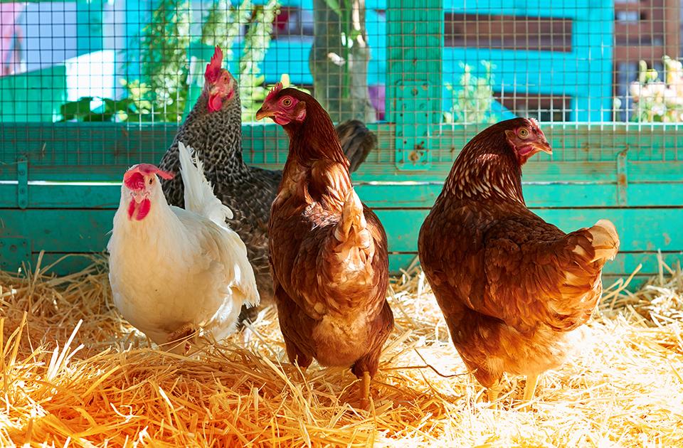 disinfezione pollaio