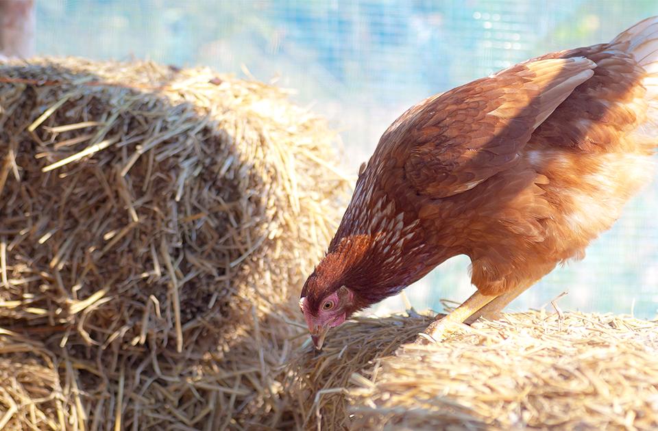 Anche le galline si annoiano