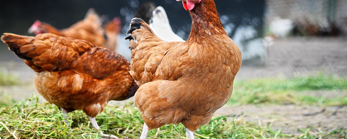 Differenze tra pollo e gallina