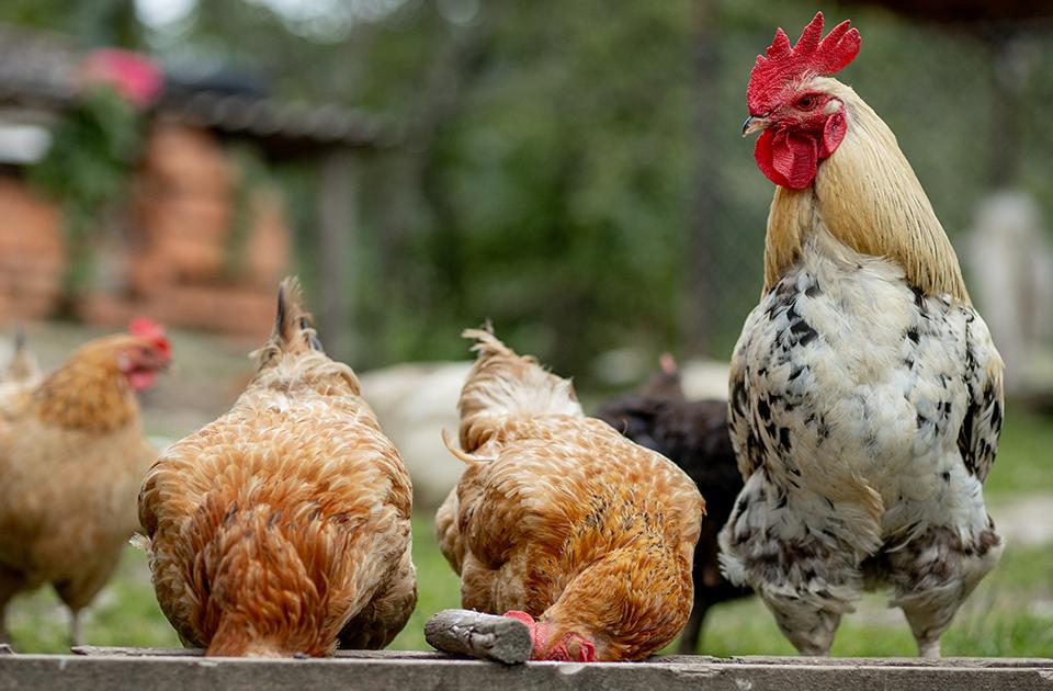 Gerarchia nel pollaio